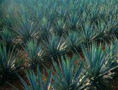 На фото голубая агава