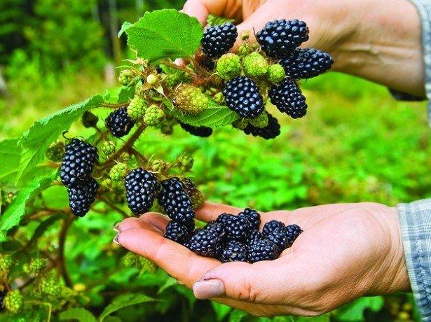 Технология выращивания ежевики