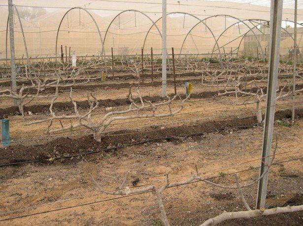 Выращивание инжира в открытом грунте в украине 57