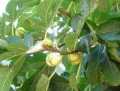 На фото дерево инжир