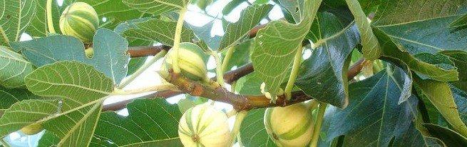 Инжир - выращивание в открытом грунте по уникальной технологии