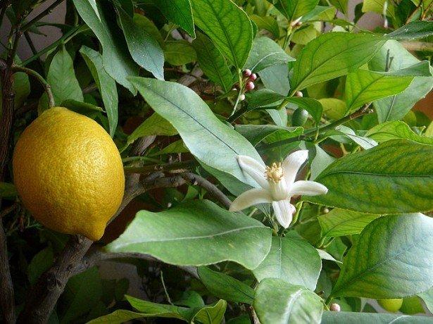 Лучшее место для лимона фото