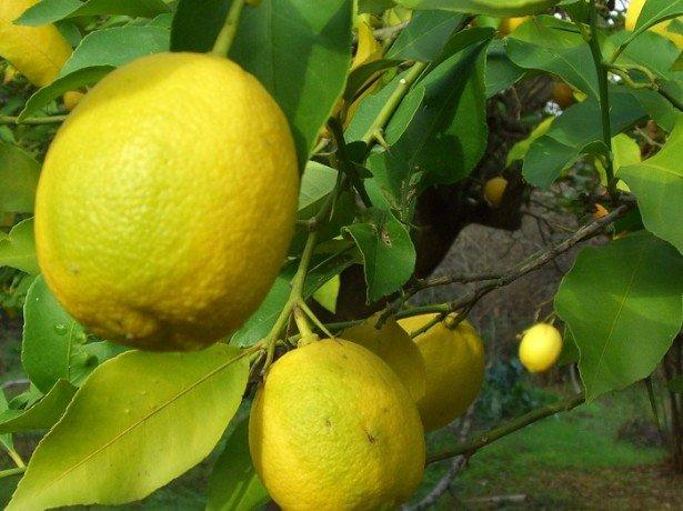 Лучшее место для лимона