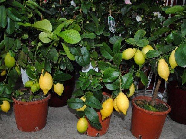 На фото деревья лимонов