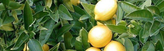 Как вырастить здоровый и цветущий лимон в домашних условиях?