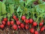 Выращивание редиса или как получить 5 килограммов с одного квадратного метра