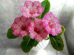 Как подготовить глоксинию к зиме, чтобы получить бурное цветение летом