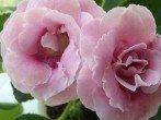 Как подготовить глоксинию на зиму, чтобы получить бурное цветение летом