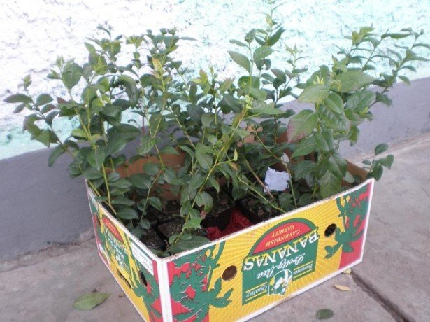 Как правильно посадить чернику