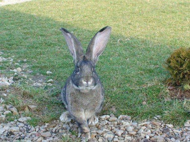 Чем хороши увесистые потомки патагонских кролей