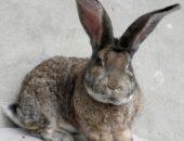 На фото кролик-великан породы фландр