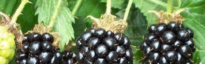 Садовая ежевика - уход осенью проще, чем кажется, а урожаи на порядок выше, чем у малины