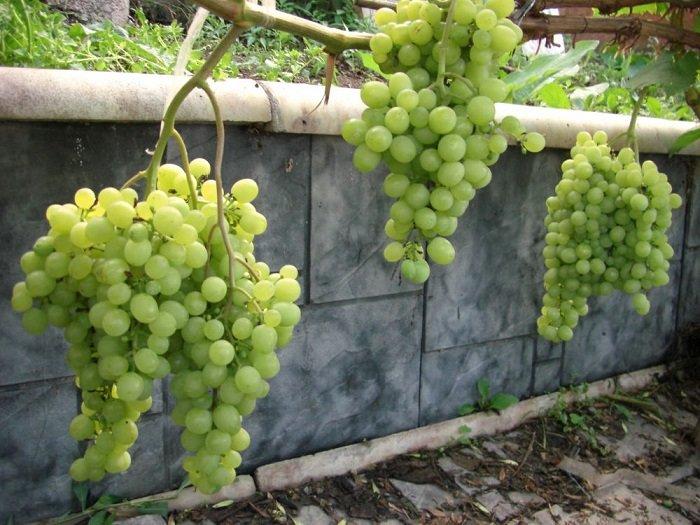 Какие сорта винограда лучше сажать на алтае 68