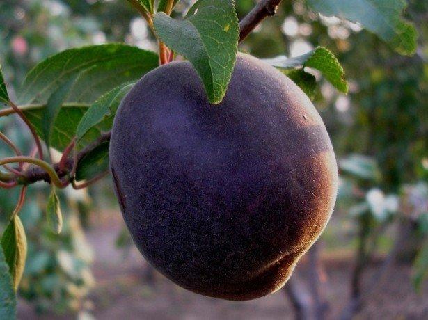 Что это за фрукт, с чем его едят