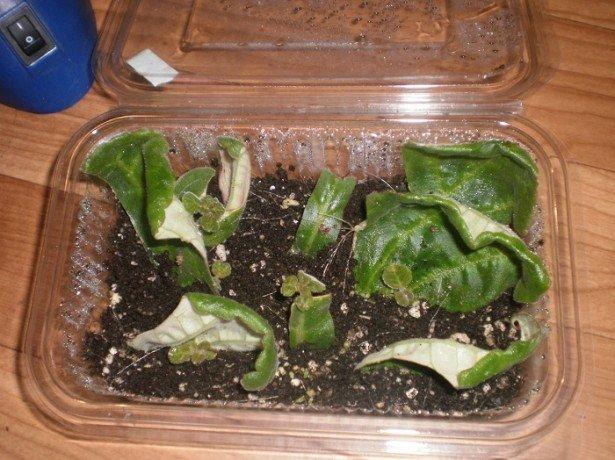 Правильное выращивание глоксинии из листа