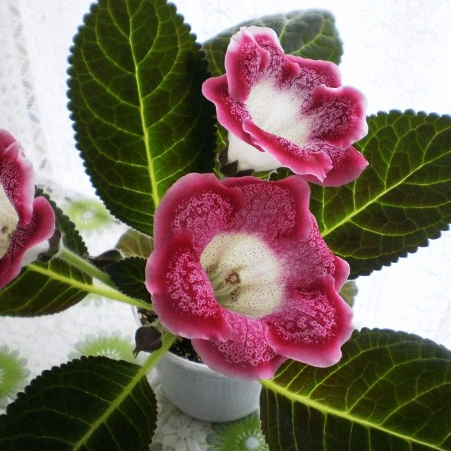Глоксиния фото условия выращивания