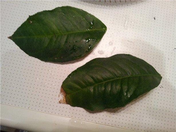 На фото, опавшие листья лимона