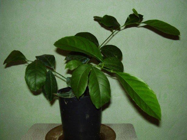 На фото у лимона опадают листья