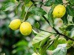Почему у лимона опадают листья и как с этим бороться