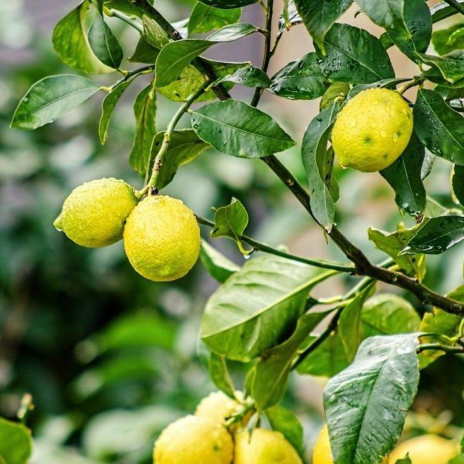 Почему лимон сбрасывает опадают плоды что делать