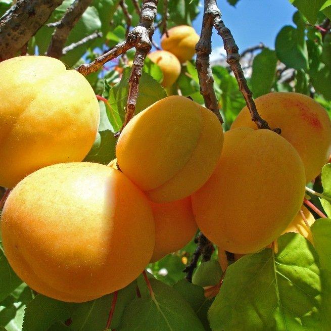 На фото абрикосы