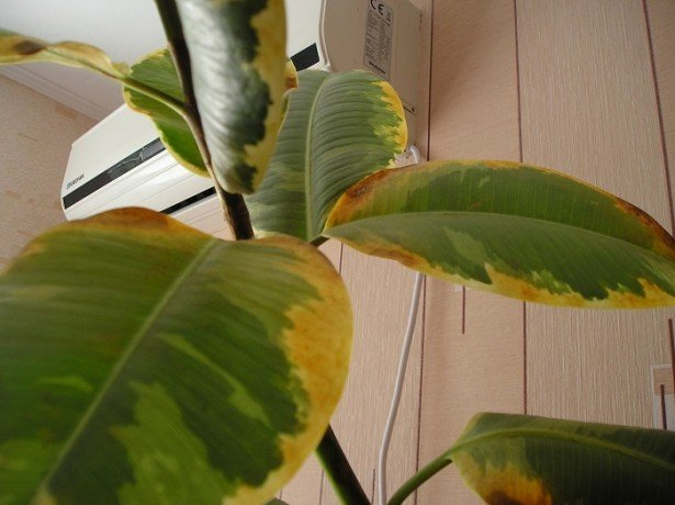 <strong>Основные вредители лимона</strong> фото