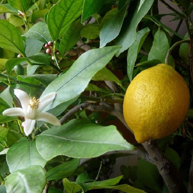 Фото дерева лимона