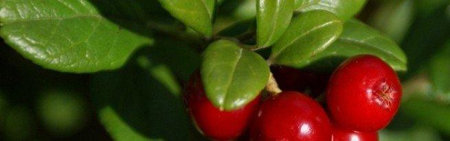 Где растёт клюква и как её собирать, а также другие интересные факты об этой уникальной ягодке