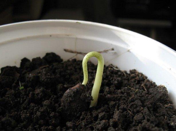 Как в домашних условиях посадить хурму из косточки
