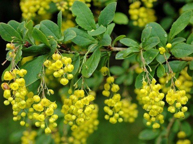 Плоды и цветы барбариса и их лечебные свойства