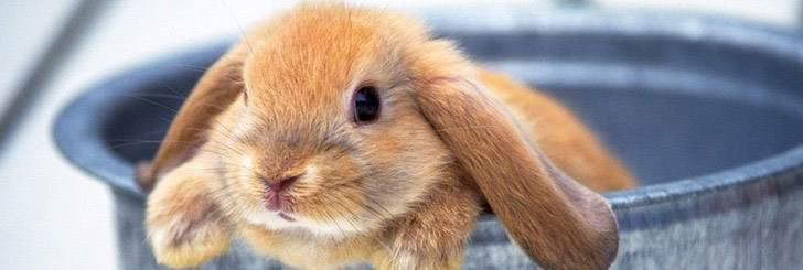 На фото кролик домашний