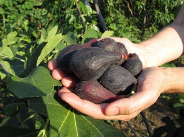 Крымский черный − неприхотлив и высокоурожайный