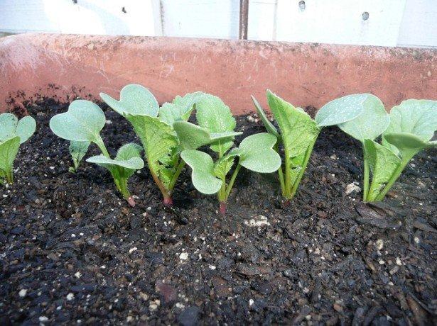 Уход за рассадой редиса