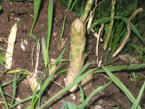 Посев семян и выращивание рассады спаржи фото