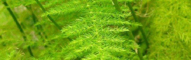 Аспарагус перистый и прочие, популярные и не очень, виды спаржи