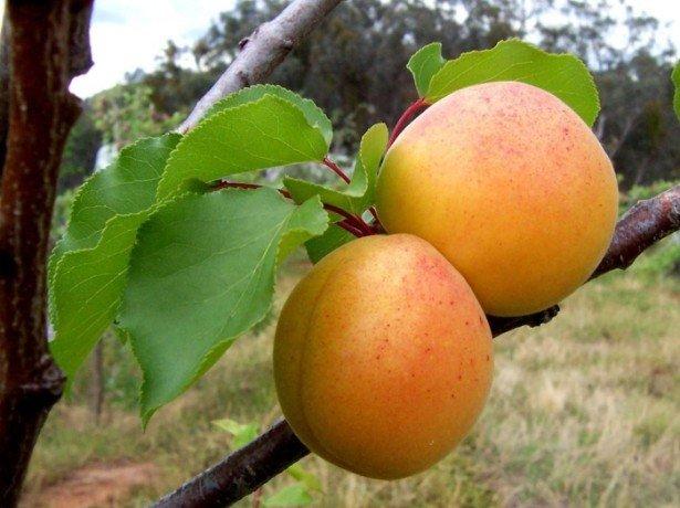 Камедетечение на абрикосе и его лечение