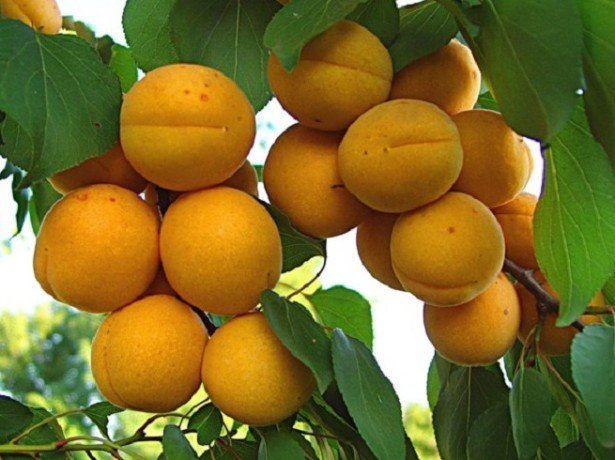 На фото абрикос