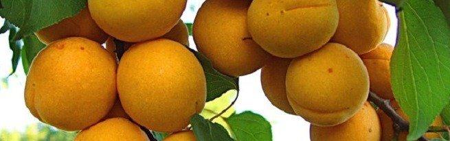 Существующие болезни абрикоса, профилактика и способы их излечения