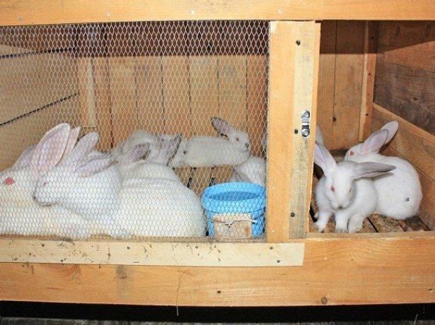 Кролиководство и все о нем, что может пригодиться начинающему фермеру