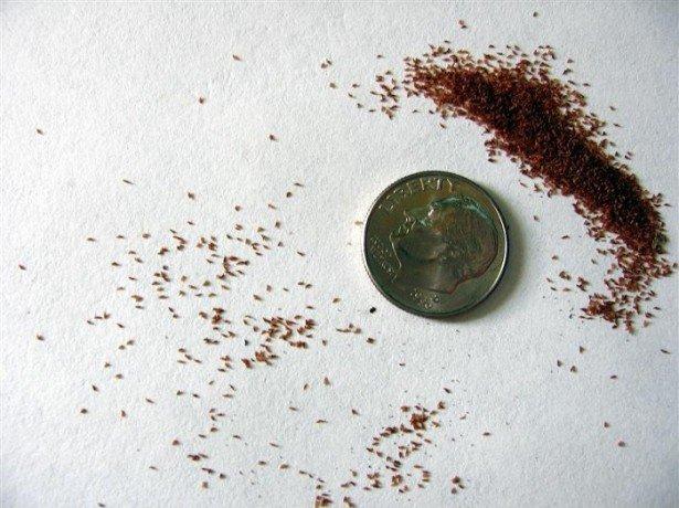 Глоксиния – размножение семенами