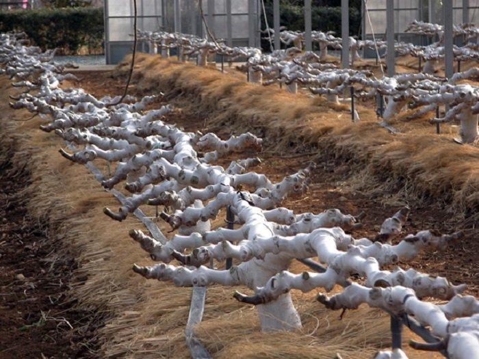 Выращивание инжира в открытом грунте в украине 49