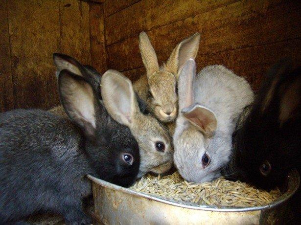 Основные компоненты комбикормов для кроликов
