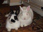 Случка кроликов по всем правилам − секреты успешного разведения