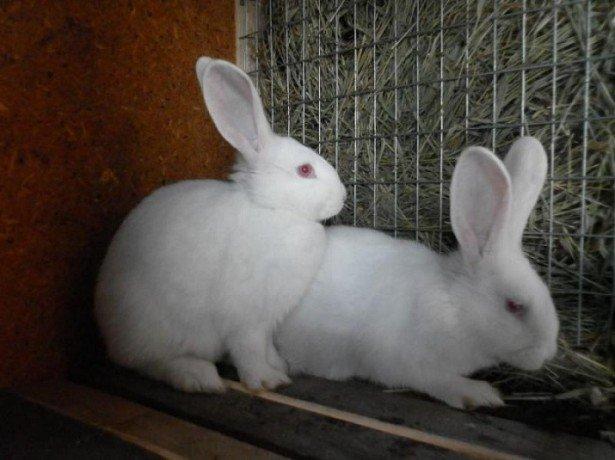 Как размножаются кролики