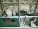 Кролиководство — как бизнес (основы и бизнес-план)