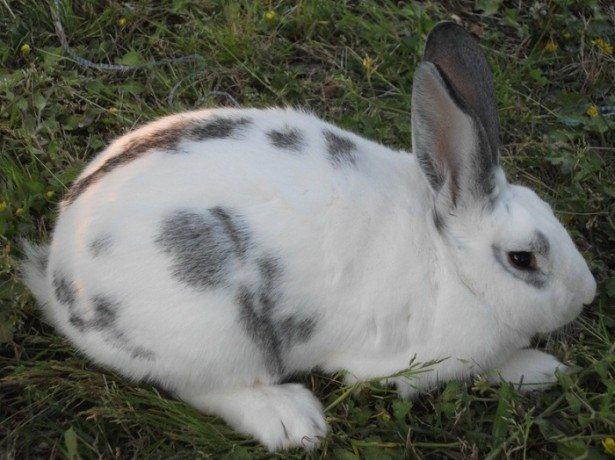 Породы кроликов великанов