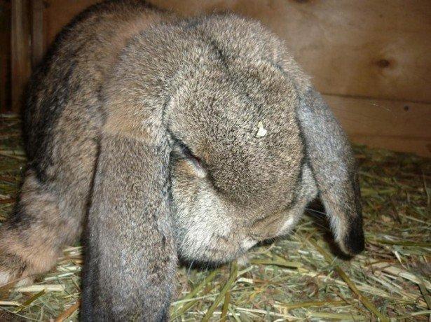 Породы кроликов великанов фото