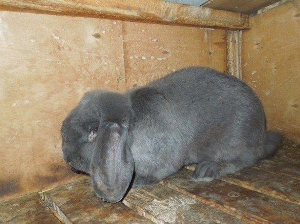 Фотография кролика породы немецкий баран