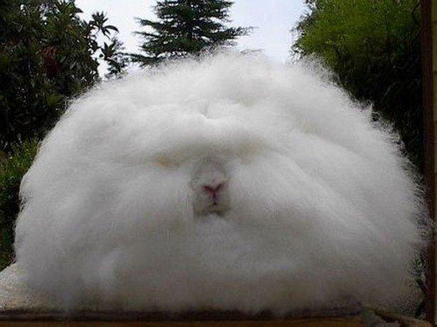 Пуховое кролиководство