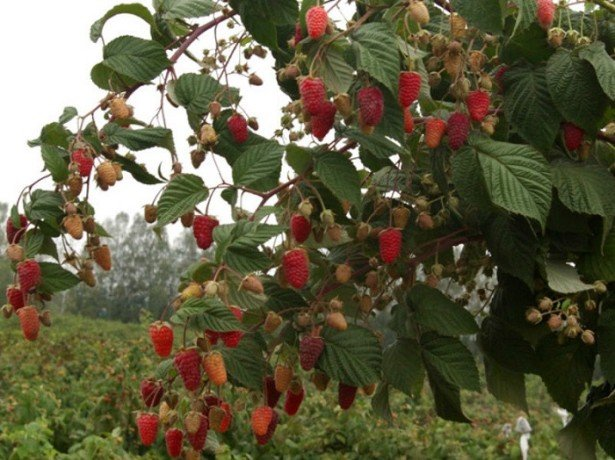Посадка малины ремонтантной осенью